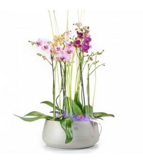 Centro Orquídeas Phalaenopsis