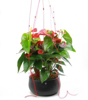 Centre Anthurium Vermell