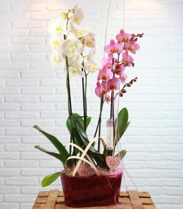 Composició Phalaenopsis