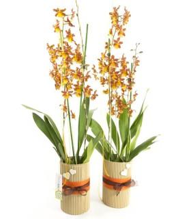 Orquídea Cambria