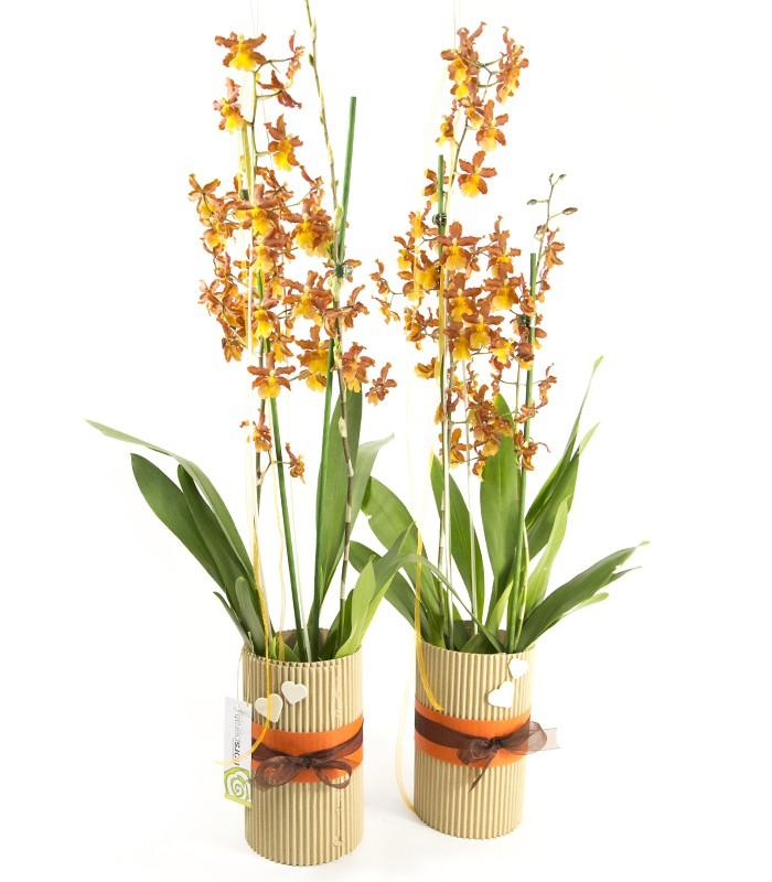Orquídia Cambria