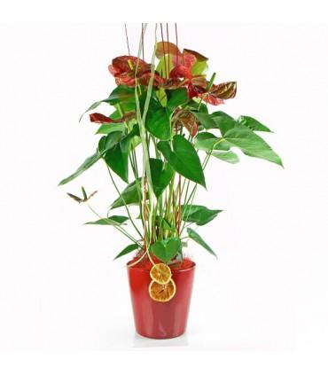 Amthurium Rojo