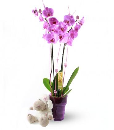 Orquidea Phalaenopsis & Ovejita