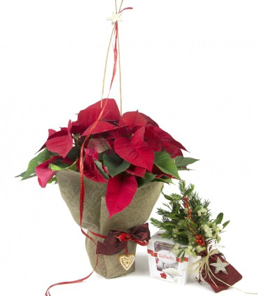 Pack Poinsettia 02