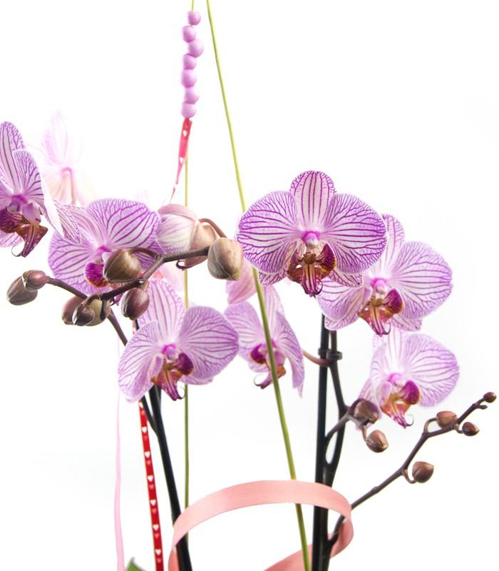 Orquídia Amor