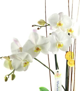Orquidea Phalaenopsis Gigante