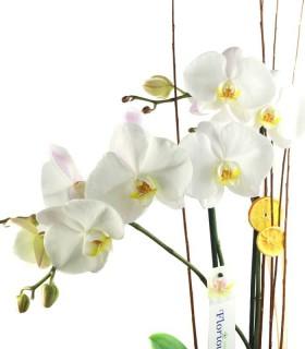 Orquídia Phalaenopsis Gegant