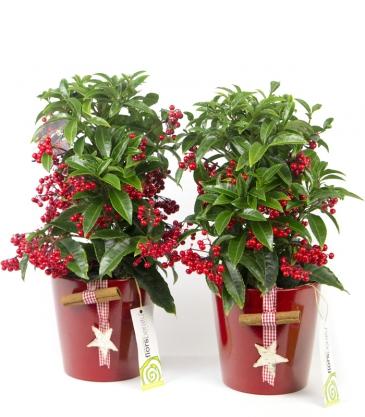 Cuidados planta de navidad cool with cuidados planta de navidad ya que la temperatura media - Cuidados planta navidad ...