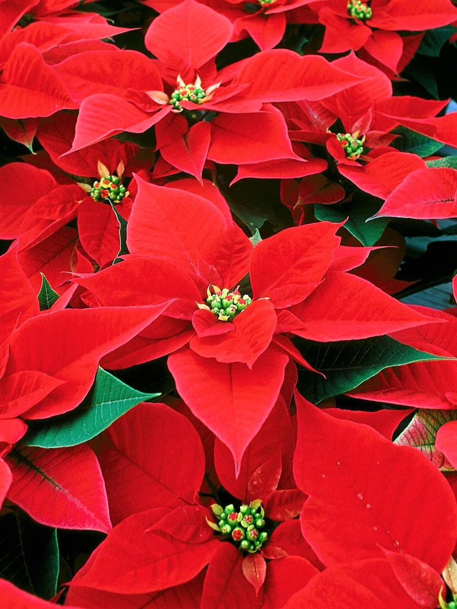 Regalar plantas de navidad cuidados para que duren - Cuidados planta navidad ...