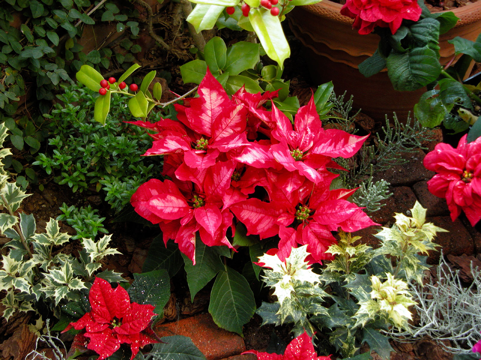 Regalar plantas de navidad cuidados para que duren florestore - Cuidados planta navidad ...